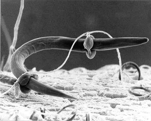Arthrobotrys trapping a nematode as described by Dr. Wilhelm Zopf in 1888.