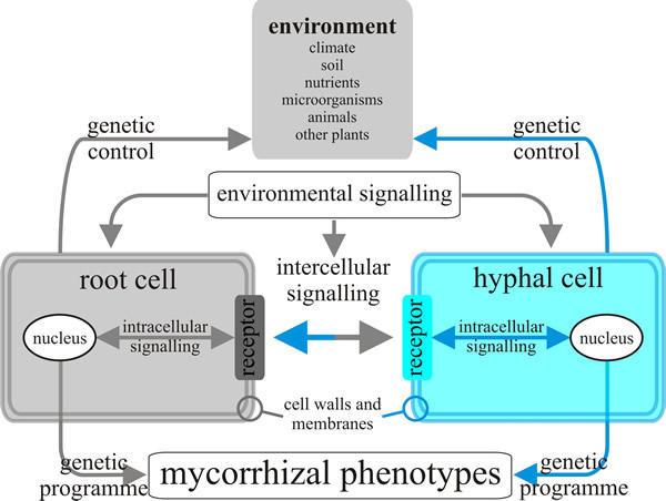 Model of the inter- and intracellular communications that might exist between fungal hyphae and root cells in the ectomycorrhizal symbiosis. Changes in environmental conditions may produce signals sensed by cells of both partners in the symbiosis, and both probably transduce this information to their nuclei to provoke modifications in gene expression and consequently in phenotypes.
