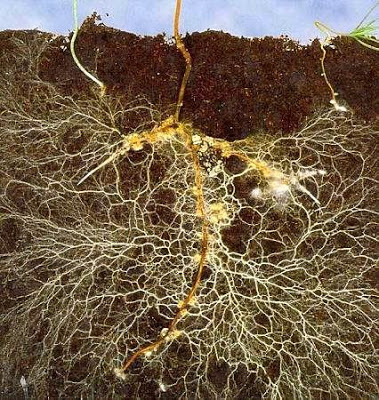 Ectomycorrhizal fungi associated with plant seedlings.