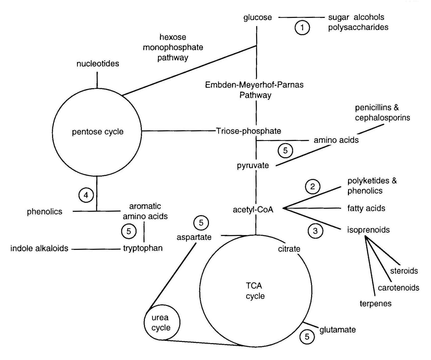 Interrelationships of metabolic pathways in primary and secondary metabolism (Griffin, 1993)