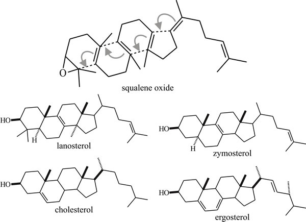 Cyclisation of squalene oxide creates different types of sterols (Moore et al, 2011)