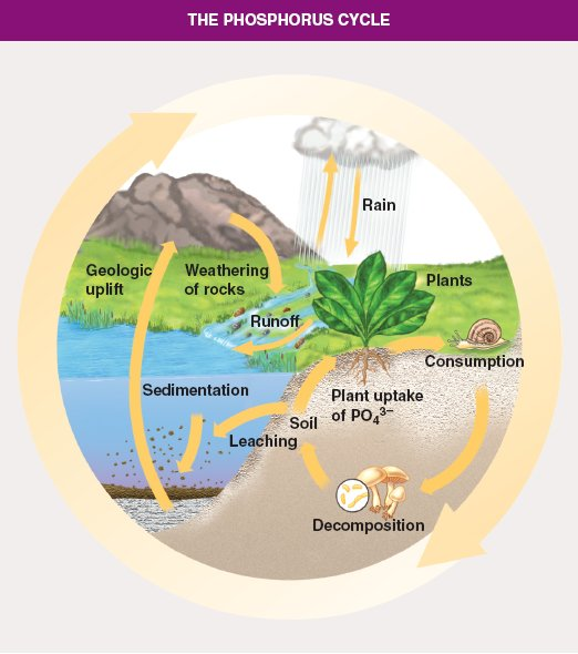 The Role of Fungi in the Phosphorus Cycle.