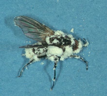 Fly colonized by Beauveria bassiana