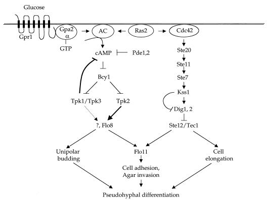 Signal transduction pathways regulating pseudohyphal differentiation in S. cerevisae; a nutrient-sensing cAMP-PKA pathway, and the MAP kinase cascade.