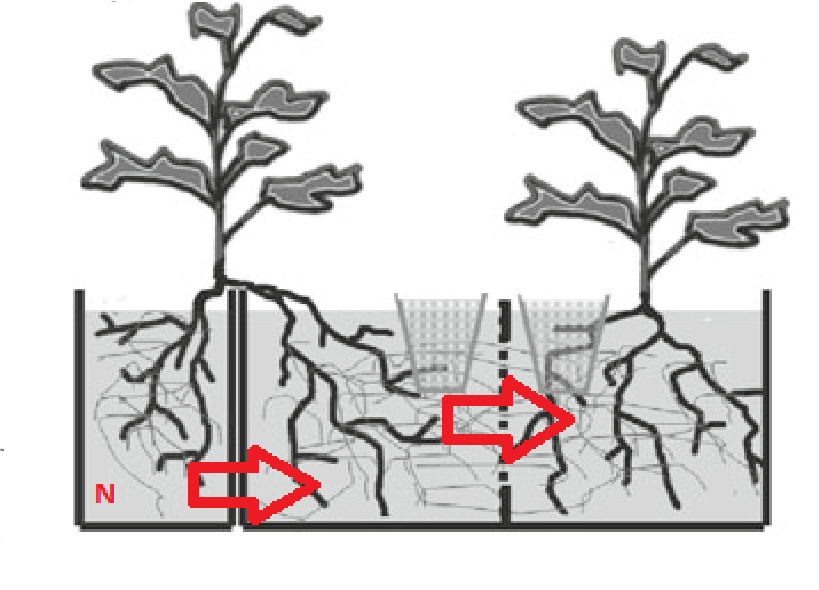 Nitrogen as a vital part of a food chain. It enters from one part of a plant root system, and once dead, is extracted to another plant via mycorrhizae.