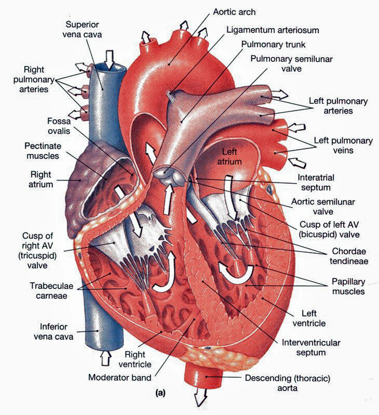 Heart anatomy frontal section. Taken from http://anatomyandphysiologyi.com/wp-content/uploads/2013/09/Heart-anatomy-Frontal-section.jpg