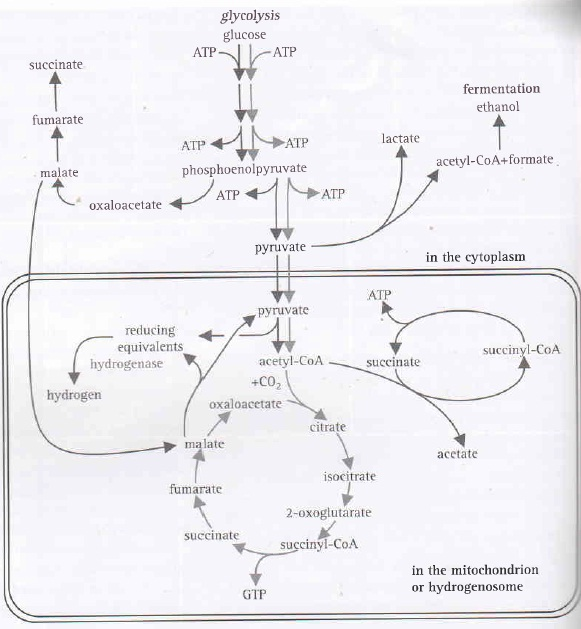 Metabolic Pathway of Chytrid [Moore et al. (2011). 21st century guidebook to fungi. New York, NY.]